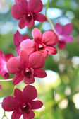 Pink orchids in nature — Stock Photo