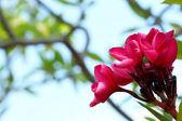 красный цветок frangipani дерево — Стоковое фото