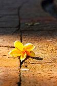 Frangipani белый цветок — Стоковое фото