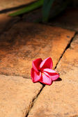 Red frangipani flower  — Stockfoto