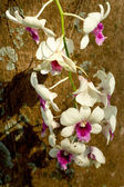White orchids in nature — Stock Photo