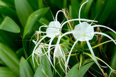 White spider lily in nature — Stock Photo