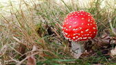 Fly agaric among fallen leaves (selective focus) — Stock fotografie