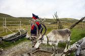Reindeer in Honningsvag, Norway — Stock Photo