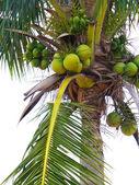 Coconut palm — Fotografia Stock