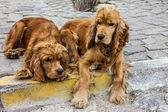 Рыжая собака спаниель прокладки на улице — Стоковое фото
