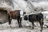 Cows in mountains  — Stock Photo