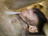 Sucking macaque monkey — Stock Photo