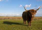 Scottish highlander grazing — Stock Photo