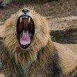 Lion yawing in the zoo with big teeth — Stock Photo