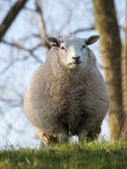 Close up image sheep — Stock Photo