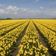 Yellow tulip field — Stock Photo #17466009