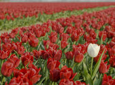 A row of red tulips — Stock Photo