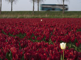 With a touring car to the tulip fields — Stock Photo