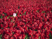 Red tulips field with in the middle a white tulip — Stock Photo