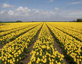 Yellow tulip field — Stock Photo