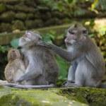 Family macaque monkeys — Stock Photo