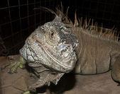 Close up image of a Iguana — Stock Photo