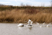 White swans flying over the water — Stock Photo