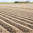 Potato field at an early stage — Stock Photo