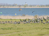 Bird fight in the air with lapwings and kestrel — Stock Photo