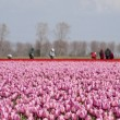 Tulip field with working with a blue sky — Stock Photo