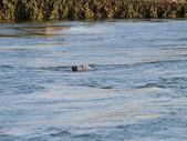 Seal swimming in the North Sea — Stock Photo