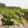 Stock Photo: Potato field in growing stage