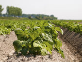 Potato field in growing stage — Stock Photo