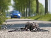 Dead bird on the asphalt highway — Stock Photo
