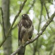 Buzzard sitting on a branch of a tree — Stock Photo