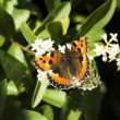 Red admiral butterfly on blossom — Stock Photo