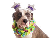 American staffordshire terrier with party hat happy birthday — Stock Photo