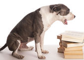 American staffordshire terrier reading a book — Stok fotoğraf