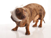 Tiger dachshund with a bandage on his leg on a white background — Stock Photo