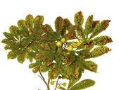 Castanhas com folhas como pano de fundo — Foto Stock