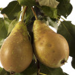 Juicy pears on tree with white background — Stock Photo #34914261