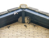 Flying swallows in a nest on a roof — Stock Photo