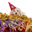 Maltese dog with party hat with white background — Stock Photo
