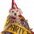 Maltese dog with party hat with birthday congratulations — Stock Photo #35539623