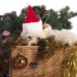 Maltese dog in decorated Christmas basket — Stock Photo #35539627