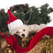Maltese dog in decorated Christmas basket — Stock Photo #35539629