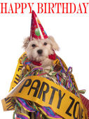 Maltese dog with party hat with birthday congratulations — Stock Photo