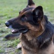 Stockfoto: Germshepherd looking to left