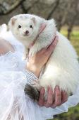 Mädchen mit einem weißen frettchen — Stockfoto