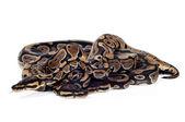 球 python — 图库照片