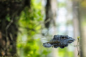 American Alligator — Stock Photo