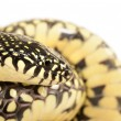 Speckled Kingsnake — Stock Photo