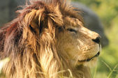 Kalahari Lion — Stock Photo