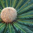 Palm bud — Stock Photo